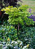 Acer japonicum 'Aureum' (Goldahorn)