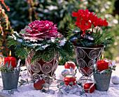 Brassica / Zierkohl, Cyclamen persicum / Alpenveilchen, Abies nordmanniana / Nordma