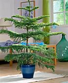 Araucaria heterophylla / Araukarie oder Zimmertanne