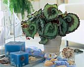 Begonia 'Olympia' (Schneckenbegonie) mit maritimer Deko