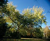 Acer saccharinum 'LUTESCENS' (Gelbblättriger SILBERAHORN)
