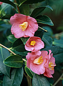Camellia 'Cornish SPRING' (Kamelie, Vier BLÜTEN)