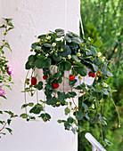 Erdbeerampel bepflanzen: 2/2