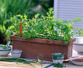 Asia - Salate mit Saatband aussäen: 4/4