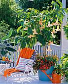 Datura syn. Brugmansia (Engelstrompete) unterpflanzt