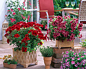 Pelargonium grandiflorum Aristo 'Red Velvet' 'Beauty'