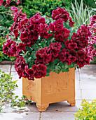 Pelargonium grandiflorum Aristo 'Red Velvet' (Edelgeranie)