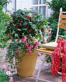 Abutilon megapotamicum (Schönmalve) unterpflanzt