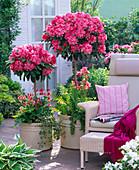 Rhododendron yakushimanum 'Morgenrot' (Alpenrosen)