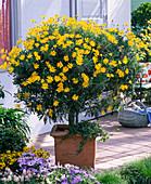Euryops chrysanthemoides (Gelbe Margerite) unterpflanzt