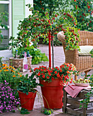 Ribes 'Redeva' (Rote Stachelbeere), Stämmchen unterpflanzt