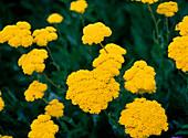 Achillea filipendulina 'Coronation Gold' (Schafgarbe)