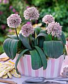 Allium karataviense (Blauzungenlauch) in rosa-weißer Jardiniere