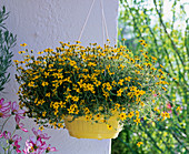 Bidens Hybride 'Peters Surprise' (Zweizahn, Goldmarie)