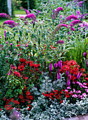 Rot - violettes Beet : Monarda fistulosa 'Präriebrand' (Indianernessel),