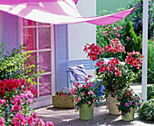 Duftterrasse : Lilium 'Stargazer' (Lilien), stark duftend, Rosa (Rose)