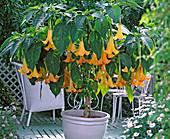 Datura 'Estella' (Engelstrompete) mit gelben Blüten