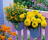 Tagetes erecta 'Antigua Yellow' und tenuifolia 'Luna Golden Yellow'