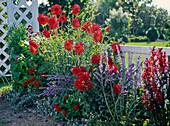 Dahlia 'Normandie Splendor' und 'Jackpot' (Kaktusdahlien)
