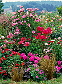 Rosa - pinkes Beet mit Hibiscus syriacus (Roseneibisch), Phlox paniculata