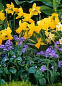 Narcissus 'Jetfire' 'Minnow' (Narzissen), Myosotis 'Myomark' (Vergissmeinnicht)