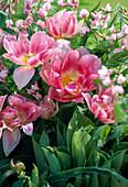 Tulipa 'Angelique', Lathyrus vernus, Hosta