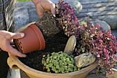 Schale mit Sedum bepflanzen : 3/4
