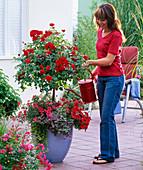 Rosa 'Medley Red' (Bodendeckerrose),öfterblühend, Stamm,