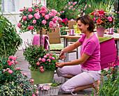 Rosa 'Charmant' (Rose), Zwergrose, leicht duftend, gesund, robust