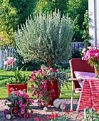 Lavandula dentata (Lavendel - Stamm) unterpflanzt mit