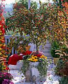 Cotoneaster (Zwergmispel - Stamm) unterpflanzt