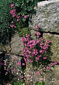 Erinus alpinus (Alpenbalsam)