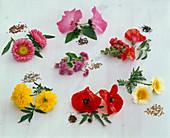Tableau mit einjährigen Sommerblumen und deren Samen