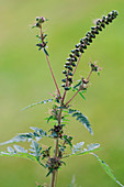Ambrosia artemisiifolia (Beifußblättriges Traubenkraut)