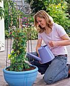 Rhodochiton in blaue Schale pflanzen : 4/5