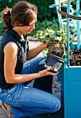 Blauen Kübel mit Thunbergia und Ipomoea bepflanzen : 4/7