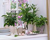 Kräuter am Fenster : Salvia (Salbei), Allium (Knoblauch), Geschirr, Pfeffer