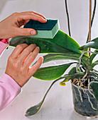 Blätter von Phalaenopsis (Malaienblume, Nachtfalterorchidee)