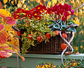 Cyclamen (Alpenveilchen), Chrysanthemum (Herbstchrysantheme)