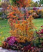 Enkianthus campanulatus (Prachtglocke) in Herbstfarbe