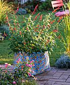 Salvia rutilans (Ananas - Salbei) in bunter Tasche