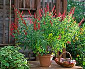 Salvia rutilans (Ananas - Salbei), Pelargonium fragans
