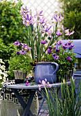 Iris hollandica (Schwertlilie), Anemone