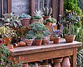 Sukkulenten und Kaktus in Tontöpfen und Kasten auf Holztisch