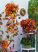 Fragaria (Erdbeerpflanzen) in Herbstfärbung