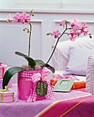 Phalaenopsis (Malayenblume) im pinken Übertopf