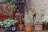 Kübelpflanzen im Herbst für die Überwinterung zurückgeschnitten