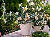 Camellia sasanqua 'Ginryo' (Kamelie) mit duftenden weißen Blüten