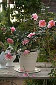 Camellia sasanqua 'Shibori Egao' (Kamelie), blüht an Weihnachten