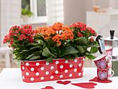 Kalanchoe blossfeldiana (Flammende Käthchen) in roter Metall - Jardiniere